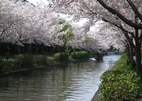 Sakura-suiro0404a.jpg